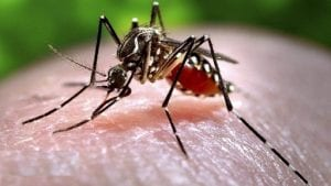 Zika is transmitted mostly by the bite of an infected Aedes mosquito (Ae. aegypti and Ae. albopictus). Mosquitoes bite at all hours of the day and night.